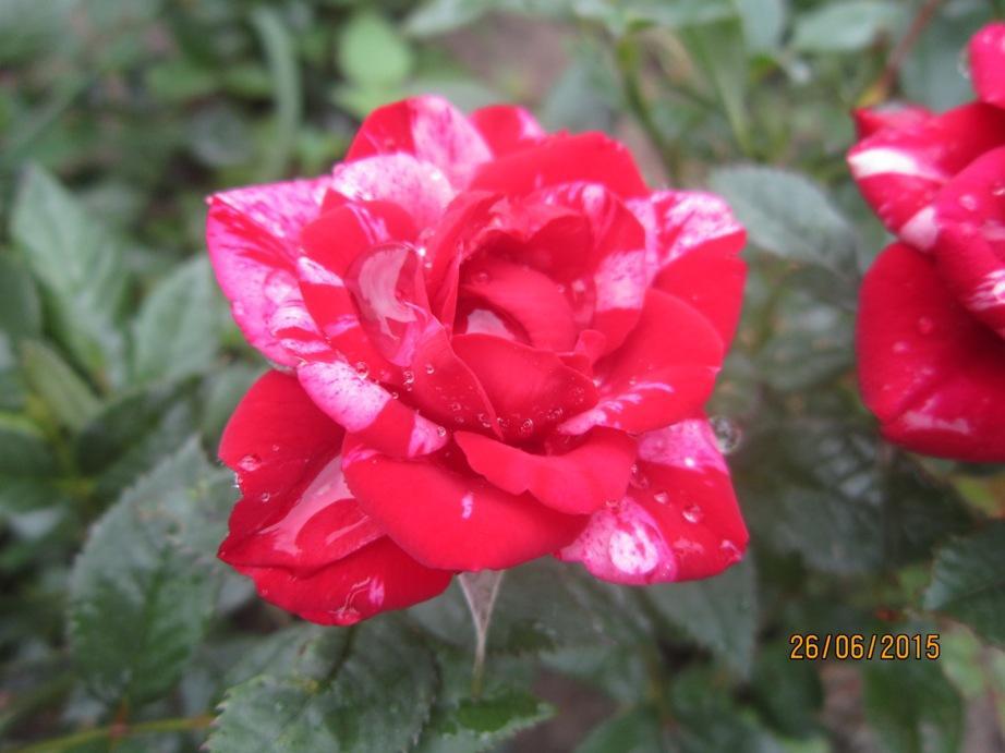 полос роза.JPG