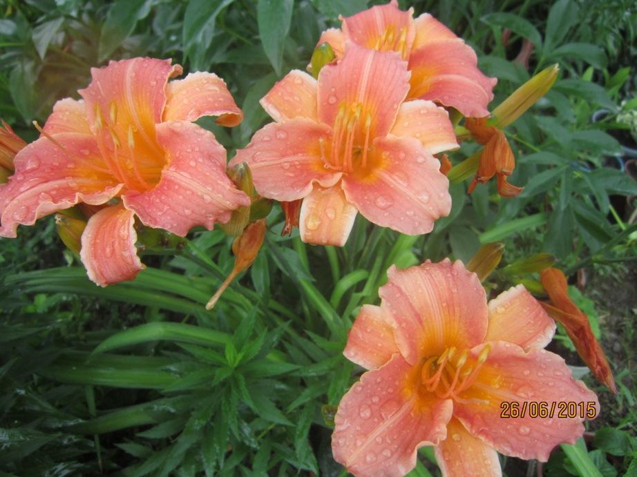 лилейн роз.JPG