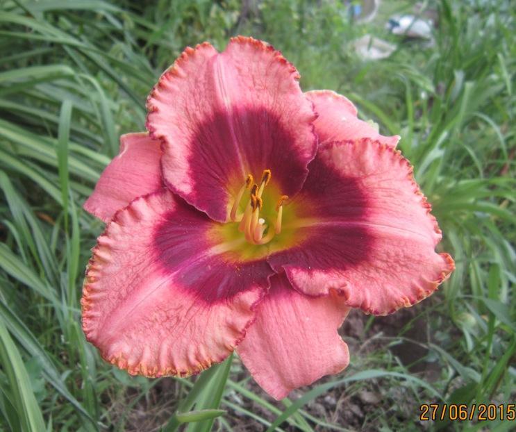 лилейн роз с гл.JPG